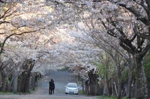 カフェの前の桜並木